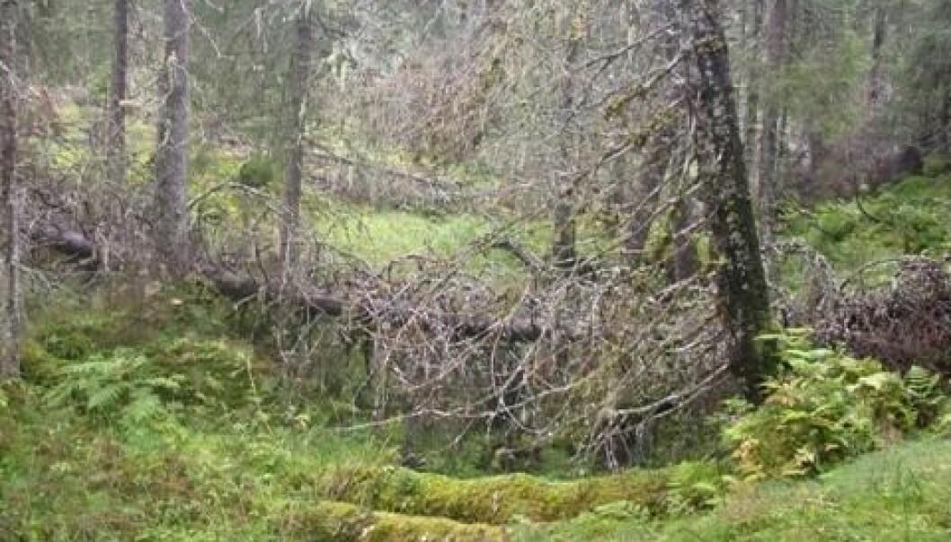 Boreal rainforest in Norway's Nord-Trøndelag county. (Photo: Håkon Holien)