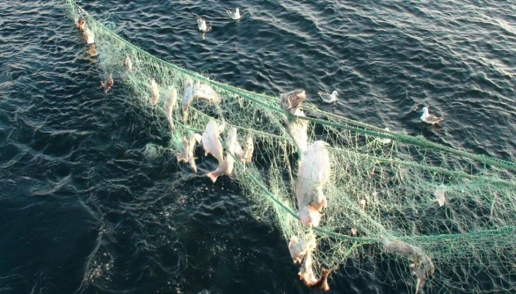 Spøkelsesgarn: Garn som sliter seg, fanger levende fisk i årevis før de brytes ned til mikroplast. (Foto: Gjermund Langedal/Fiskeridirektoratet.)