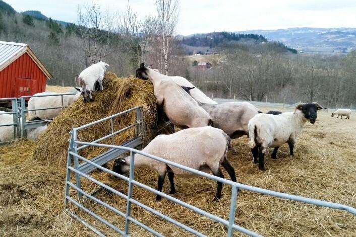 Gammelgården Lysklæt leverer økologiske kjøttprodukter til Scandic Nidelven. (Foto: Odd Roger Langørgen)