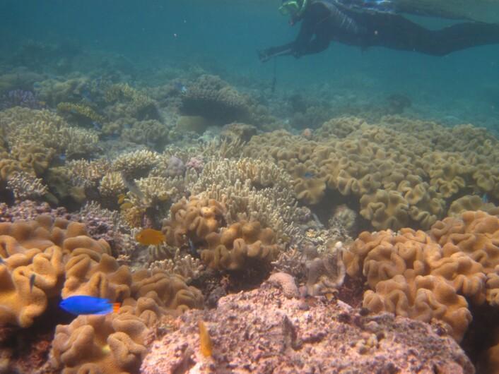 Sånn så korallene ut før blekingen. (Foto: Trond Amundsen/NTNU)