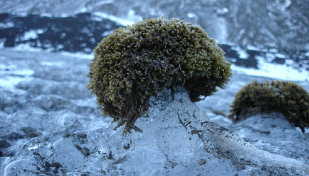 These glacier mice in Bolterdalen might be the subjects of thorough studies in the near future. (Photo: Fanny Dommanget).