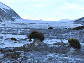 Few and far in-between? Glacier mice on the Rieperbreen in Bolterdalen, close to Longyearbyen. (Photo: Hanne Eik Pilskog).