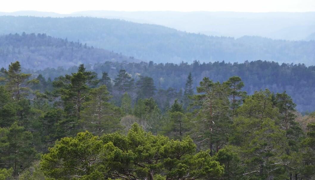 Skogsjorda kan være en betydelig kilde til utslipp av karbon til atmosfæren om vi ikke driver skogen på en fornuftig måte, skiver kronikkforfatterne. (Foto: Scanpix)