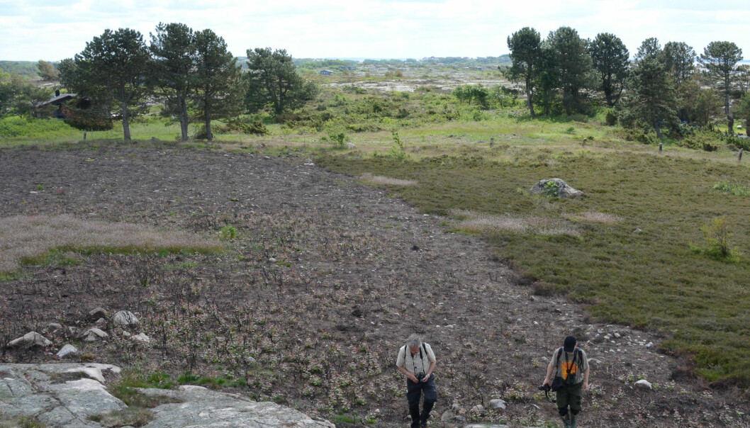 The coastal heathlands of Ytre Hvaler National Park have not been burned for many years. As a protection measure, an area by Huserstøet at Asmaløy was burned. Two additional areas will be subjected to moorland burning in the years to come. This will provide better pasture, secure the biodiversity of the areas in question and prevent overgrowth. (Photo: Morten Günther)