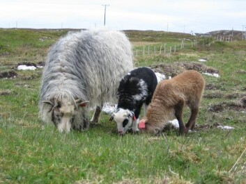 Uteganger sheep, or wild sheep, with lambs. (Photo: Liv Guri Velle)