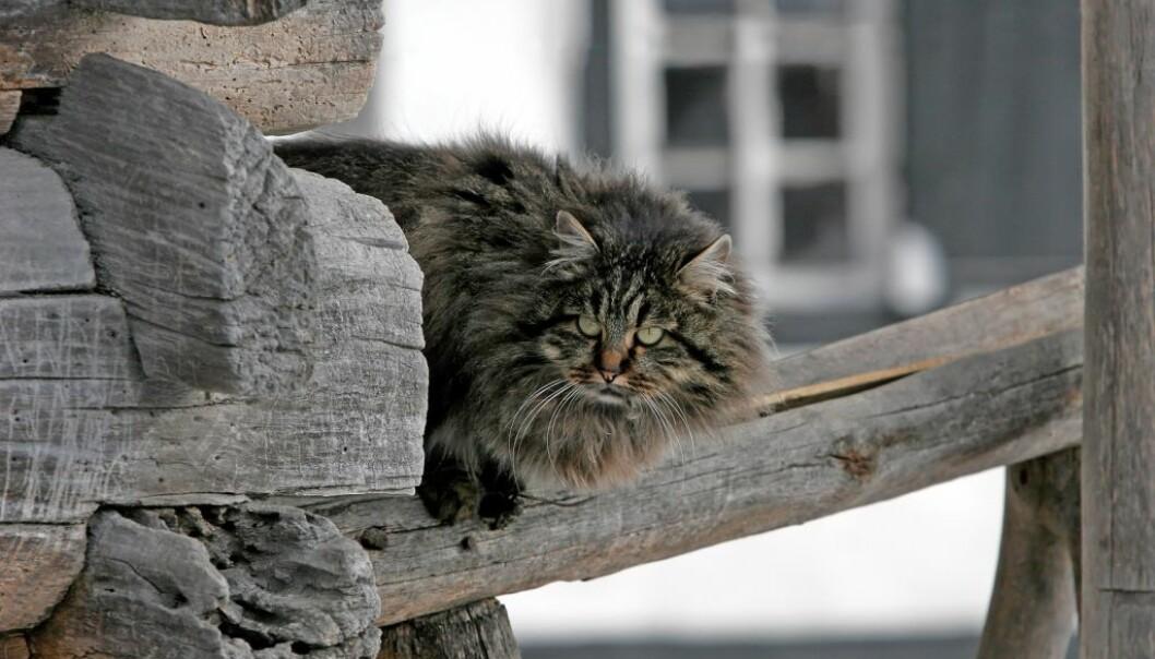 Katter ser koselige ut, men mange liker ikke hvordan de ter seg. (Illustrasjonsfoto: zatvornik/Shutterstock/NTB scanpix.)