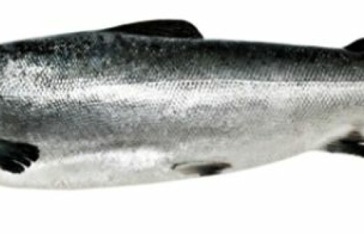 ISA virus infects salmon from within