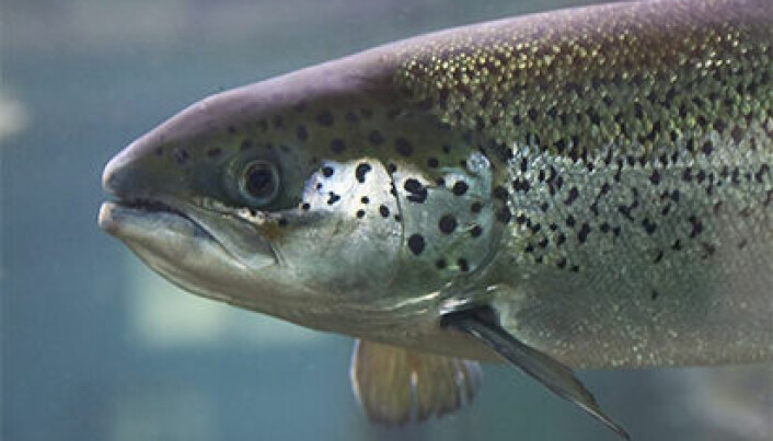 Good salmon genes contribute to more omega-3