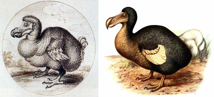 Trolig var ikke dronten (dodoen) så feit og uformelig som i tegningen til venstre fra 1626. Fuglene som ble fanget og fraktet til Europa, ble trolig feitet opp. Drontene kan også ha vært fetere i den kalde årstiden på Mauritius, mener forskerne. Bildet til høyre er fra en bok om utdødde fugler, utgitt i 1907. (Foto: (Ilustrasjoner: Van_den_Venne (t.v.), Frederick William Frohawk, Wikimedia Commons, public domain))