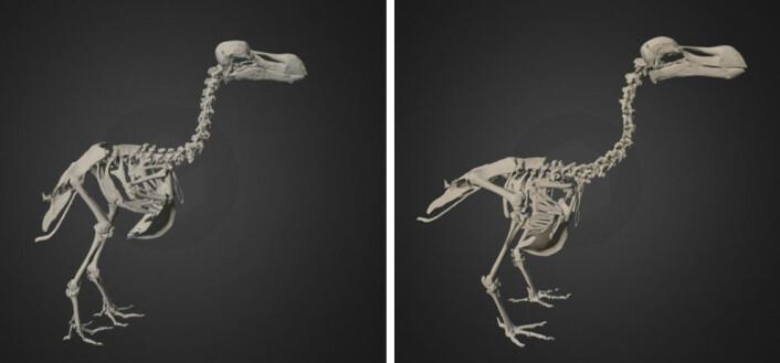 Forskerne tidligere at dronten stod mer oppreist, som vist til venstre. (Se 3D-modellen her!) Den nye studien viser at den hadde en mer framoverlent kroppsholdning, som vist til høyre. (Foto: (Bilde: Fra 3D-modeller av Aves 3D/National Science Foundation))
