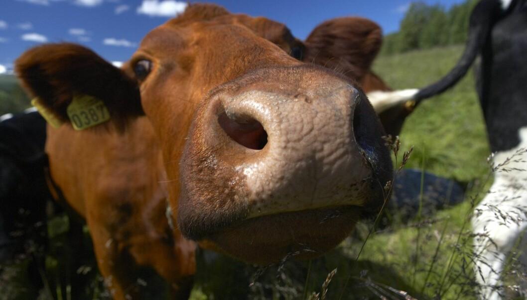 Utslippene fra drøvtyggere er omtrent 10 ganger høyere enn utslippene fra svin og fjørfe.  (Foto: Tore Wuttudal / NTB Scanpix)