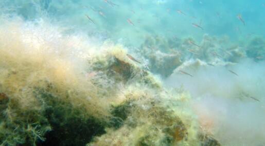 Trådalger truer Vestlandets økosystemer