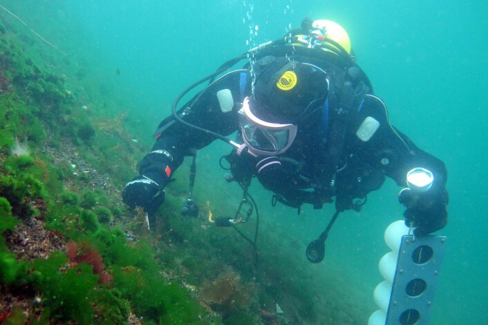 Vitenskapelig dykking. (Foto: Janne Kim Gitmark, NIVA)