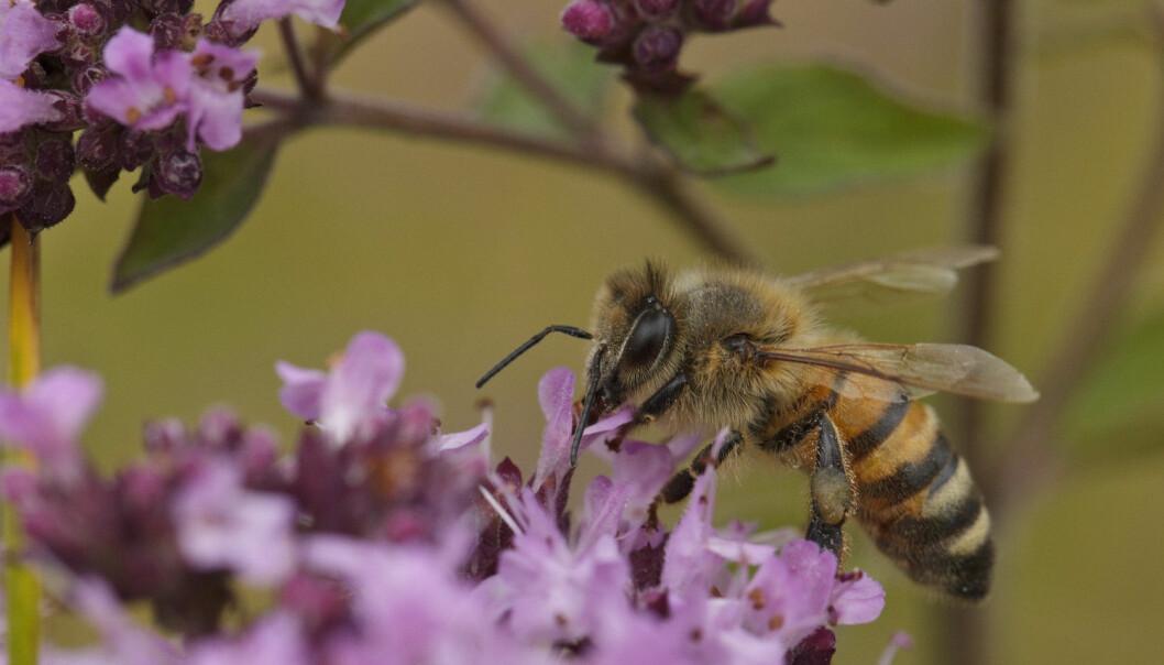 Biene vil reagere på klimaendringene, men de reagerer ulikt avhengig av om de bor nord, sør, øst eller vest i landet.  (Foto: Johnny Madsen, NTB scanpix)
