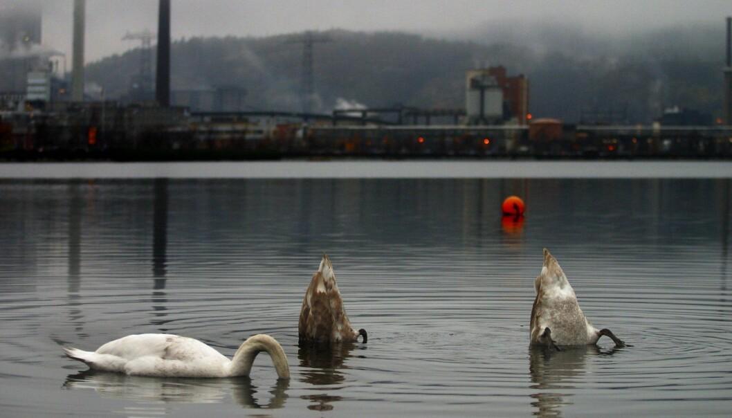 Med industrien i bakgrunnen dukker svanene hodet under vannet i Gunneklevfjorden og later som ingenting. (Foto: Dag Jenssen, Samfoto/NTB scanpix)