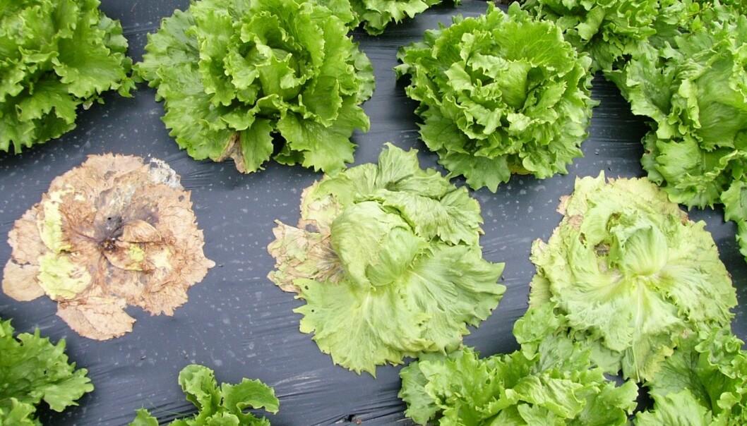 Storknolla råtesopp tar årleg knekken på salat for fleirfaldige millionar i norske salatåkrar. (Foto: Kari Aarekol, NLR Rogaland)