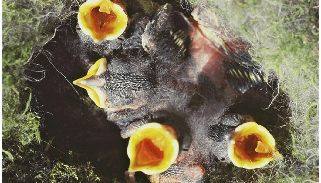 Kjøttmeis-unger skriker etter mat. Disse har også lyse nebb for å tiltrekke seg foreldrenes oppmerksomhet. (Foto: Camilla Hinde)
