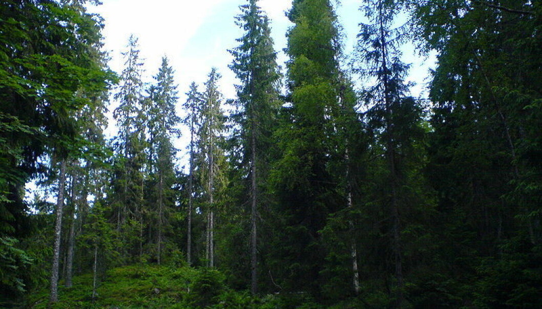 Coastal Norway spruce forest was assessed as endangered (EN) due to changes in its state over the past 50 years. The habitat type is vulnerable to changes because it needs special ecological conditions. (Photo: Colourbox)