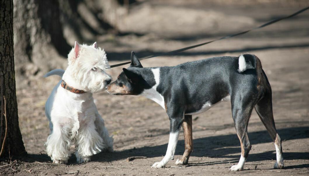Når hunder og andre pattedyr kommuniserer handler det ikke bare om lyder, men også om kroppsspråk. (Illustrasjonsfoto: mariait/Shutterstock/NTB scanpix.)