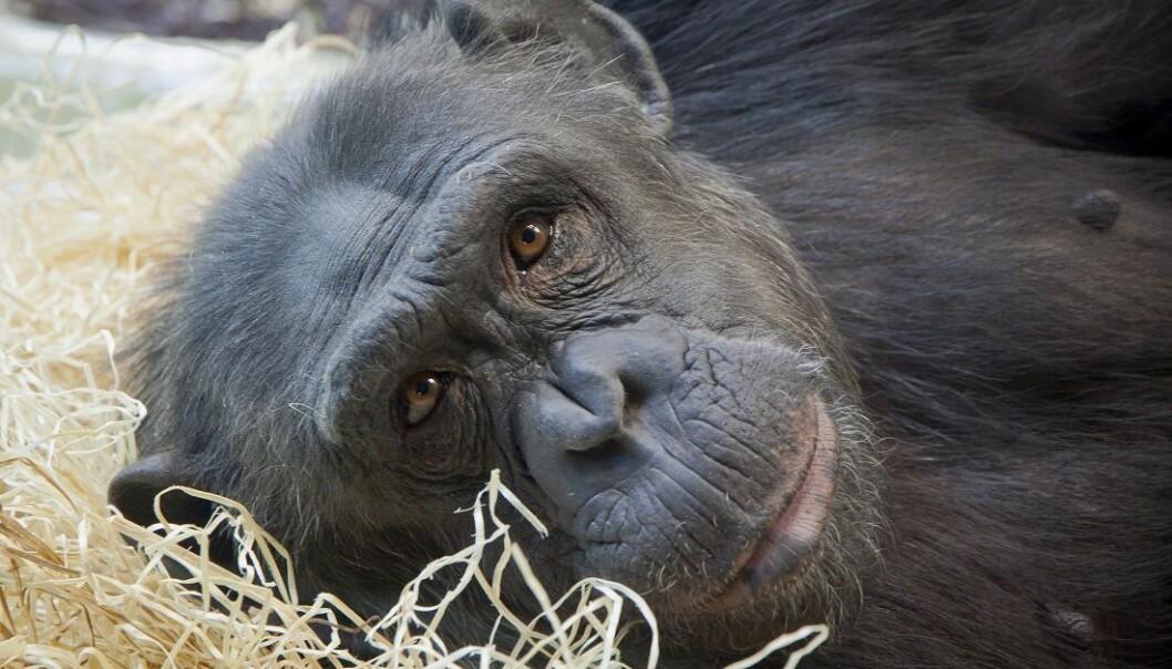 En ung sjimpanse ser inn i menneskets kamera. Unge hannsjimpanser blir kastet ut av flokken og bøller rundt i skogen en god stund. Vi mennesker, derimot, blir hjemme og krangler med mor og far. (Foto: Colourbox)
