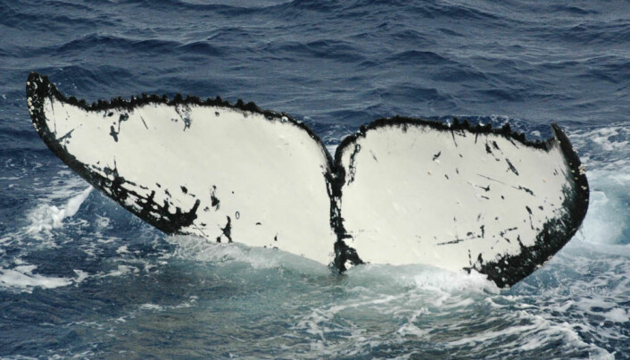 Humpback whales fuel up for a long trip