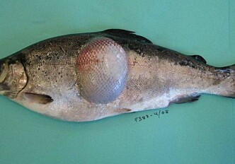 Bacterial typing in the war against fish disease