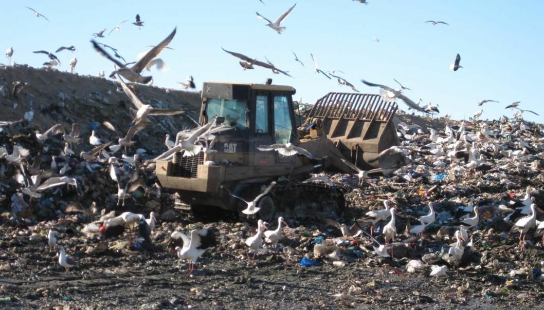 Storker stikker vanligvis sørover om vinteren. Men hvorfor fly så langt når det finnes berg av deilig søppelmat i hjemtraktene? (Foto: University of East Anglia)
