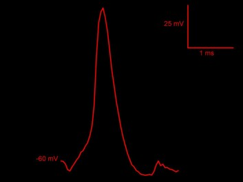 The graph shows the nerve impulse that Pedro Mateos-Aparicio measured within a synapse. (Figure: UiO)