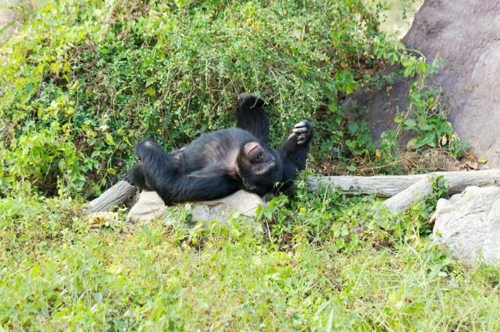 Unge sjimpansehanner overlates til seg selv når de kommer i alderen som tilsvarer tenårene. - Da skremmer de andre aper, velter trær, bæsjer i skogen og kaster mose på hverandre, sier Bøckman. (Illustrasjonsfoto: Colourbox)