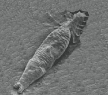 Gyrodactylus salaris har et liv med groteske overganger. Fra foster til mor til kannibal til å bli levende spist av sitt eget avkom. Sammenlignet det med dette, er kanskje ikke mor-datterkrangler blant oss mennesker så ille. (Foto: The Scottish Government, Crown Copyright. Lisens:  Open Government Licence v1.0)
