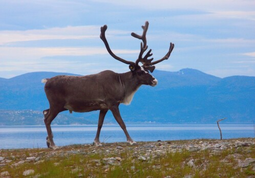 Big potential for reindeer meat