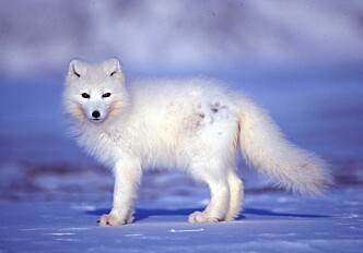 An arctic animal community crashes in response to extreme weather events