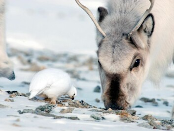 A Svalbard reindeer and ptarmigan an sharing ice-free spot, their only option for finding food. (Photo: Nicolas Lecomte, Norwegian Polar Institute)