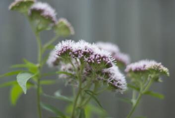 Legevendelrot (Valeriana) bør brukes med forsiktighet, fordi sikkerheten er ukjent. Foto: Colourbox