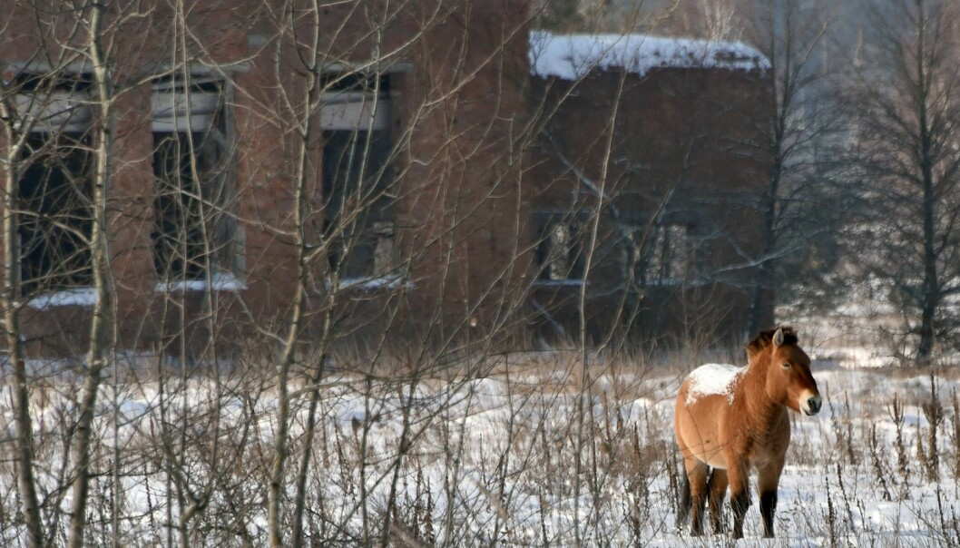 Przewalskihest inne i det sperrede området rundt Tsjernobyl. Dette er den siste villhest-rasen i verden, og przewalskihesten ble satt ut i dette området i 1990. Den stortrives, etter alt å dømme. (Foto: Genya Savilov, Afp, NTB Scanpix)
