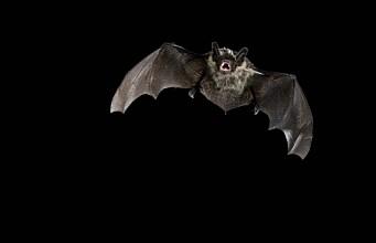 Bats struggle under the midnight sun