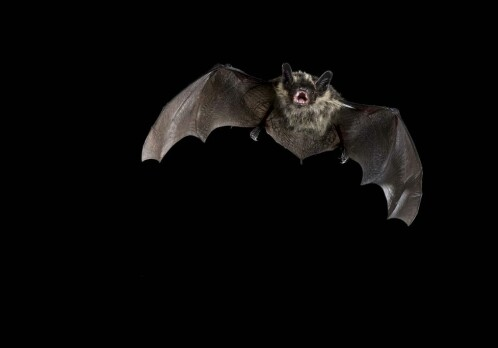 Bats struggle under the midnight sun
