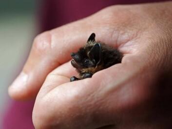 North Norwegian bats are microbats and are pretty small creatures. (Photo: Jeroen van der Kooij)