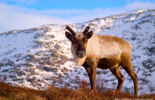 Reindeer meat is as healthy as fish
