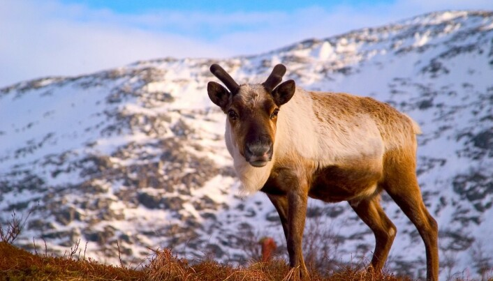 Reindeer meat is as healthy as fish