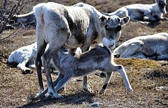 Earlier spring benefits reindeer husbandry