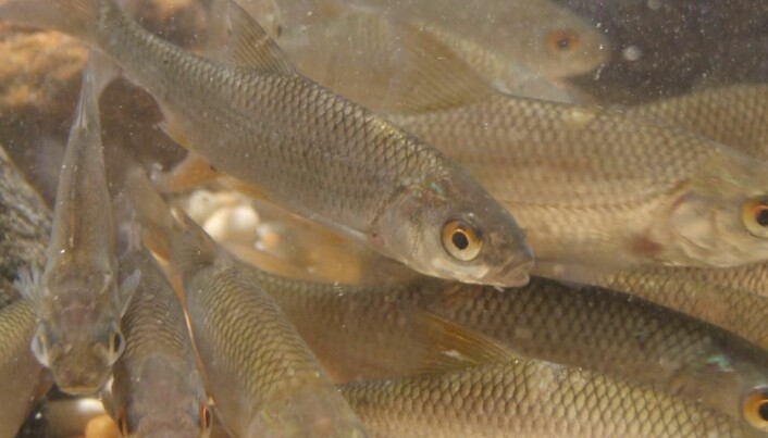 Fish migrate to avoid predators
