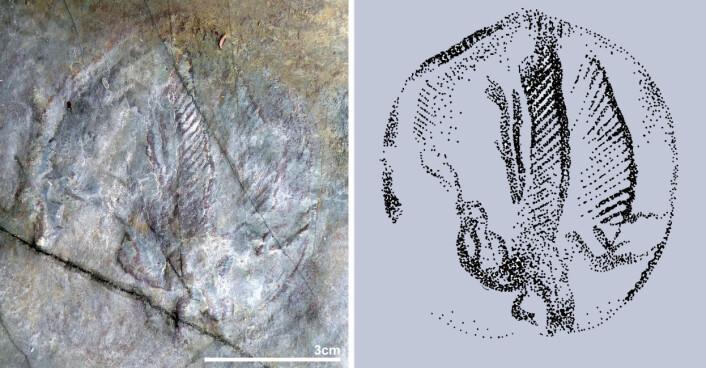 Fossilet vitner om avansert liv. Tegningen til høyre viser hvor kompleks strukturen i kroppen til det merkelige dyret er. (Foto: Magne Høyberget)