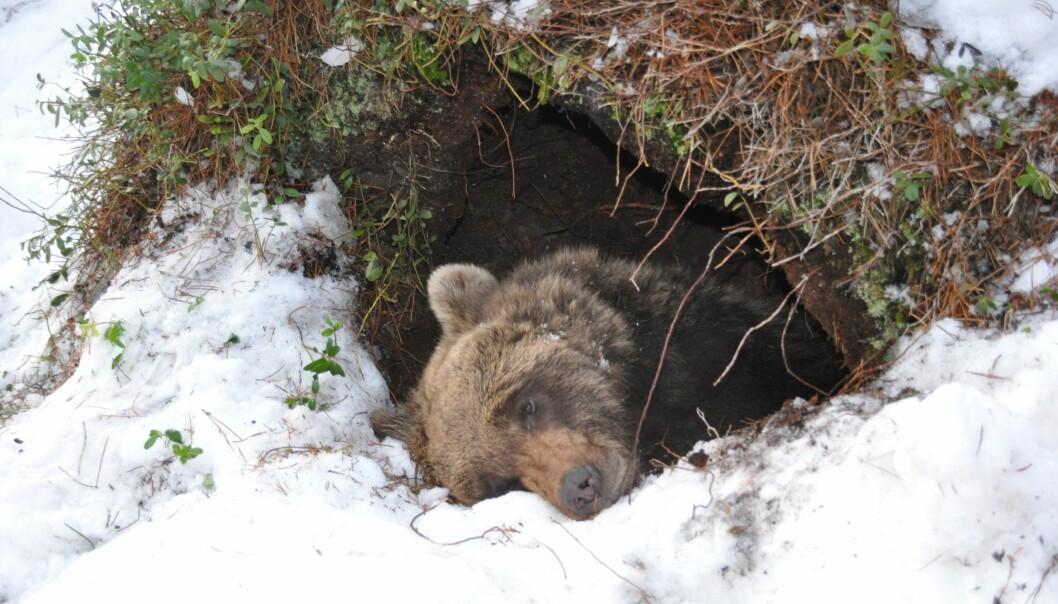 I perioden fra 2010 til i dag har 41 bjørner blitt bedøvd i hiet og utstyrt med diverse måleutstyr i regi av det skandinaviske bjørneprosjektet.  (Foto: Jon M. Arnemo)