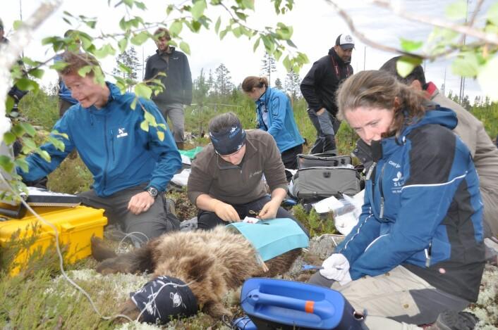 Her er veterinærteamet i full gang med å måle temperatur og hjertefrekvens på bjørnen. Alina Evans i forgrunnen med scanneren som leser av hjertefrekvensen. (Foto: Jon M. Arnemo)