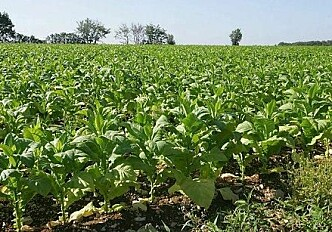 Surviving pandemics with tobacco plants