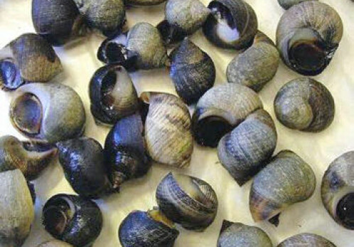 Gender confusion among periwinkles