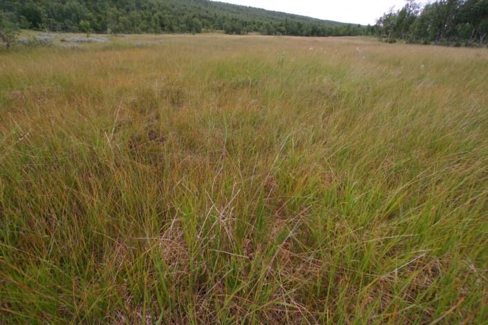 Snaut to tredelar av myrarealet i Noreg er grasmyr. Plantene her er i kontakt med jordvatnet, og desse myrene kan bli veldig artsrike når dei ligg på kalkgrunn. (Foto: Yngve Rekdal, NIBIO)