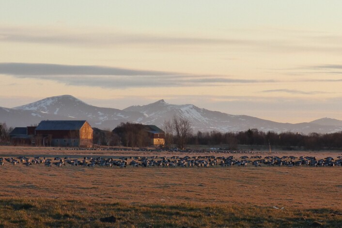 På et døgn kan det lande over 30 000 gjess i Vesterålen. Da sitter Bakken klar med kikkert, kamera og klikkteller. (Foto: Helge M. Markusson)