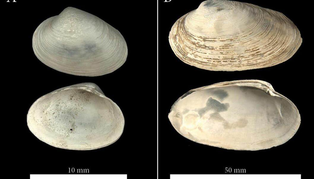De to dominerende muslingartene fra fossilfunnet utenfor Svalbard: Til venstre <em>Phreangena s.l.</em> og til høyre <em>Isorroprondon sp.</em> (Foto: William L. Locke)
